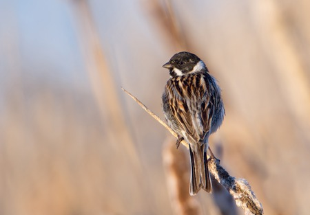 common reed: small bird reed bunting on dry cattail Stock Photo
