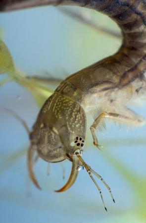 marginalis: Predacious diving beetles beetle larva. Dytiscidae. Close-up, portrait Stock Photo