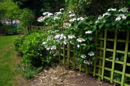 hydrangea bushes with trellis fence Фото со стока
