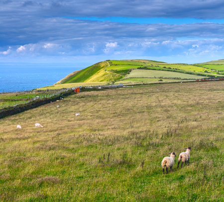 Landscape with sheep grazing in the meadows of the northern coast of Devonshire. Farmland in Exmoor. UK