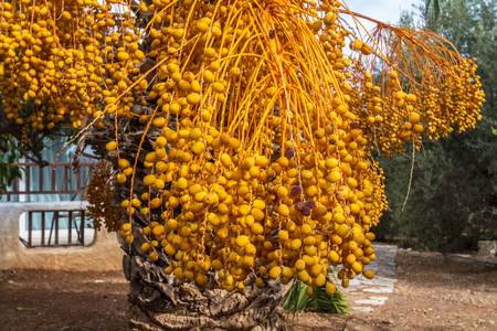 kimri: Many fruits on the branches of the date palm
