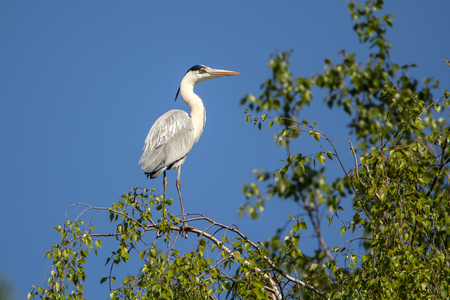 The gray heron sits on a birch branch Stock Photo