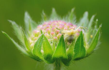 Spider-sidearm on a flower. Knautia flower. Hides and waits for prey Stock Photo