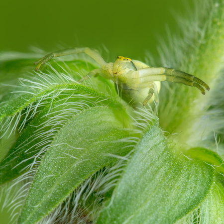 Spider (Misumena) on a hairy flower. Widely spread his paws. Waiting for prey. Stock Photo