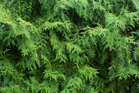 thuja occidentalis: Background of twigs of thuja. Evergreen for landscape design
