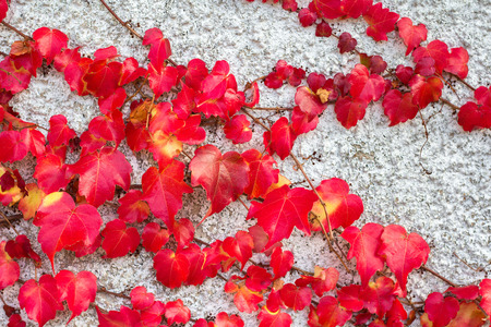 Red ivy leaves on a concrete wall