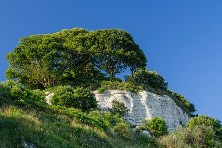 Large trees on top of a white cliff. Near the village of Beer. Eastern Devon. England Stock Photo