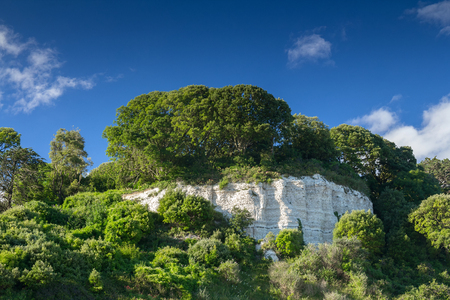 Large trees on a white rock. Near the village of Beer. Devon. UK