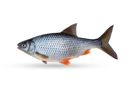 Freshwater freshwater roach fish. On a white background