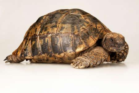 Tortoise on the white background.