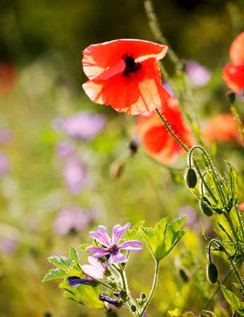 WILD POPPY GROWING IN CORN FIELD Stock Photo