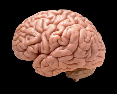 Model of human brain isolated on black background