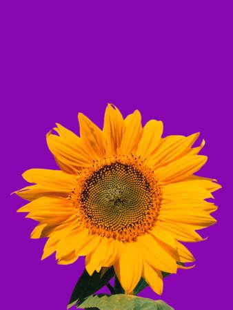 Single yellow sunflower isolated on purple background