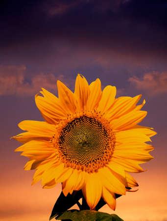 Single yellow sunflower against twilight sky background Фото со стока