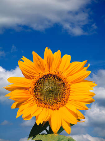 Sunflower against blue sky and clouds background