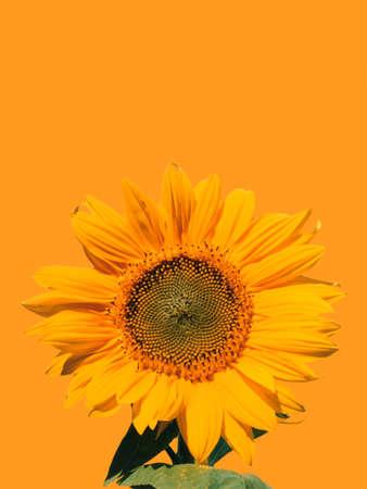 Singe yellow sunflower on yellow background