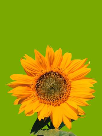 Single yellow sunflower on green background