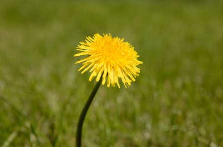Single yellow dandelion flower growing in garden Imagens