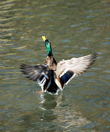 Mallard flapping wings on water