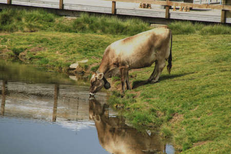 disperse: Near a wooden flooring, on a green grass in the Swiss Alpes, the red cow with the big hand bell on a neck drinks water from lake, on water circles disperse