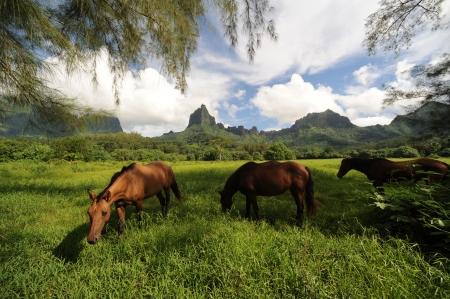 ironwood: Paradise for Pasture ,Opunohu Bay Moorea Stock Photo