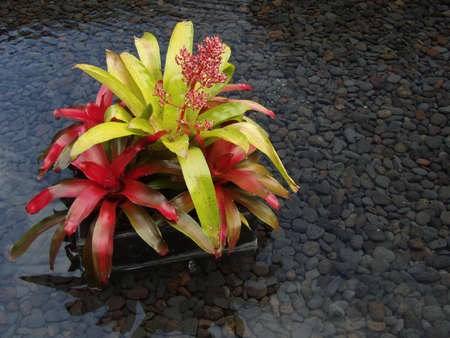 Bromeliads in water