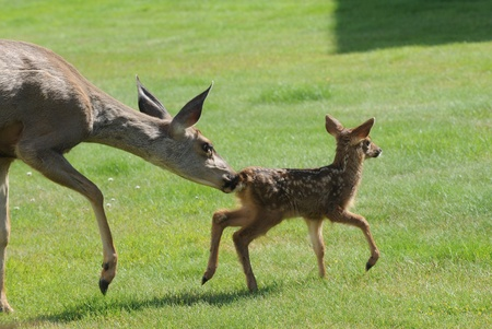 Doe and Fawn Stock Photo - 16514697