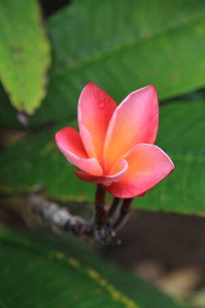 Plumearia Tahiti Banco de Imagens