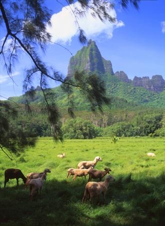 ironwood: Moorea Tahiti