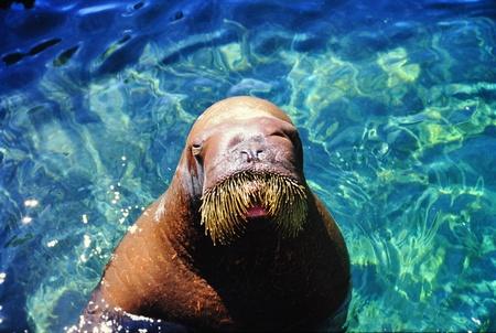 walrus Stock fotó - 17324703