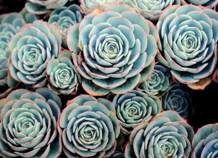 almanac: Succulent