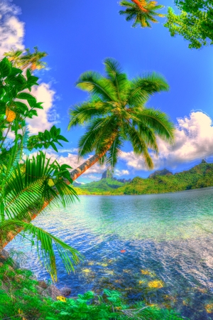 snorkle: Palm tree on Opunohu bay Stock Photo