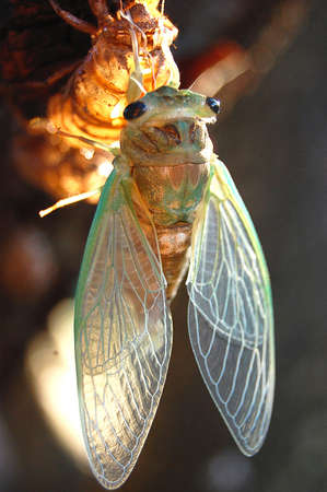 まだ捨てられた皮膚にしがみついてちょうど現れた蝉のクローズ アップ 写真素材