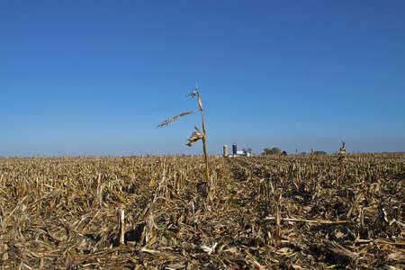 survives: Single corn stalk survives in harvested field