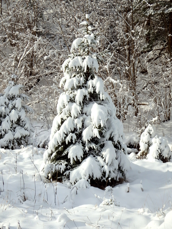 spruce: young spruce and new snow, snowy spruce