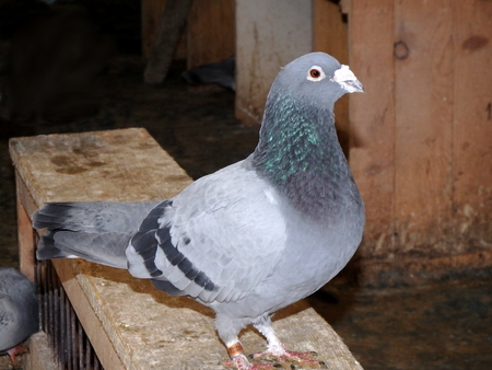 homing: Sitting pigeon in the loft,carrier pigeon, homing pigeon, Stock Photo