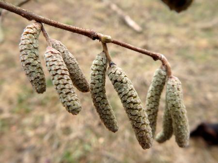 hazelnut tree: detail hazel catkins, hazel twig,Hazel tree blossom