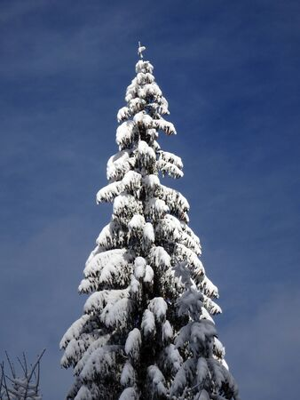 spruce: spruce and new snow, snowy spruce