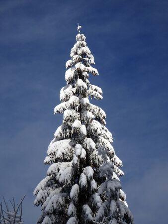 snow  snowy: spruce and new snow, snowy spruce