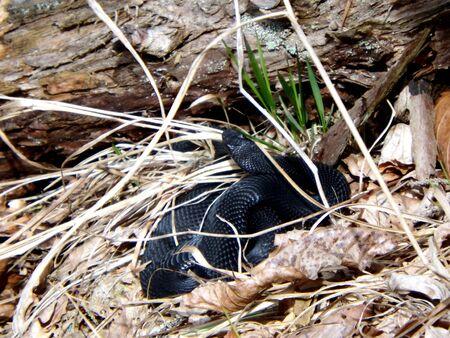 saurian: Venomous snake black  viper, Slovakia, Great Fatra