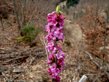 mezereum: The beautiful Mezereon  flowering on bare stem in early spring,Slovakia