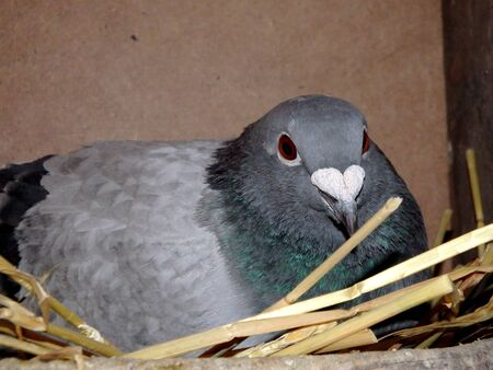 homing: pigeon sitting on nest, carrier pigeon, homing pigeon,