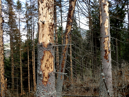 calamity: dead spruce forest, bark beetle calamity Stock Photo