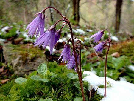 small purple flower: Soldanelka mountain, Soldanella montana,small purple flower in spring nature,