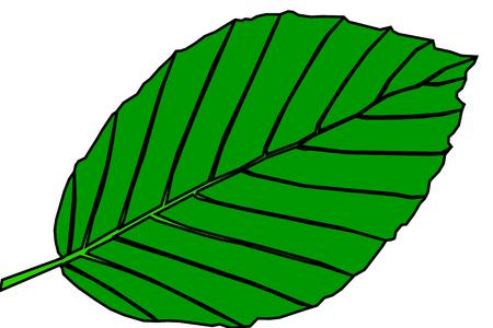 beech: beech,Fagus sylvatica, vector, isolated beech leaf, Illustration
