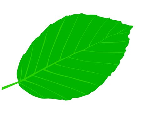 beech leaf: beech,Fagus sylvatica, vector, isolated beech leaf, Illustration