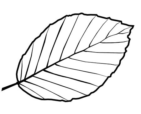beuk, Fagus sylvatica, vector, geïsoleerde blad beuken, Stock Illustratie