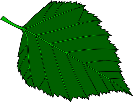 birch leaf: birch, Betula verrucosa, vector, isolated birch leaf, Illustration