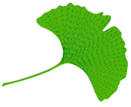 ginkgo: Leaves of ginkgo biloba, Vector illustration on white background.