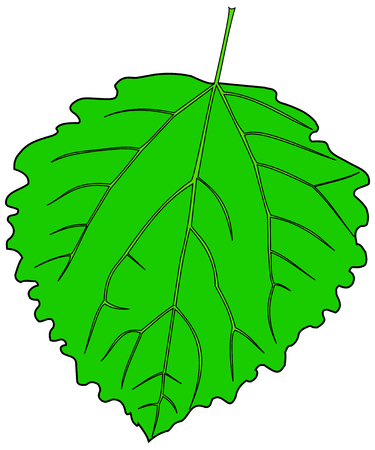 aspen: leaf aspen poplar ,Populus tremula,vector, isolated aspen poplar, leaf, Illustration